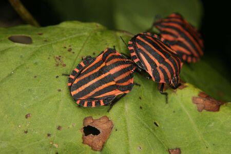 lineatum: Strip bugs (Graphosoma lineatum) on a leaf Stock Photo