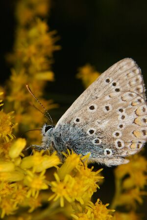 lycaenidae: Gossamer-winged butterflies (Lycaenidae) with the pairing