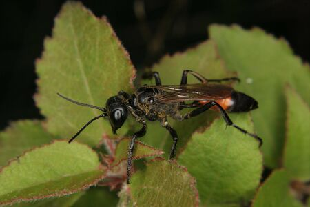 ichneumonidae: Ichneumon wasp (Ichneumonidae) on a leaf