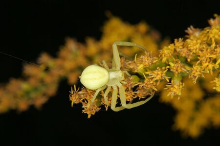 goldenrod crab spider: Goldenrod crab spider (Misumena vatia) - Female on a flower