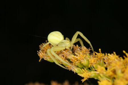 goldenrod spider: Goldenrod granchio ragno (Misumena vatia) - donna su un fiore