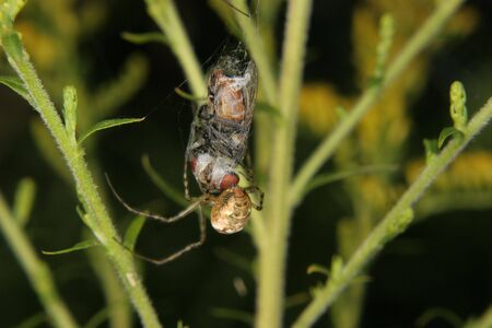 Four-spot orb-weaver (Araneus quadratus) - female to fly a captured and cocooned Stock Photo - 7899436