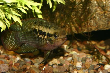 Red dots cichlid (Laetacara dorsigera) - Male Stock Photo - 8810657