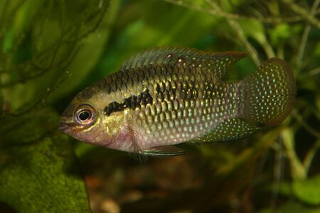Red dots cichlid (Laetacara dorsigera) - Male Stock Photo - 8810660