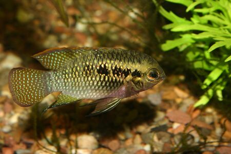Red dots cichlid (Laetacara dorsigera) - Male  photo