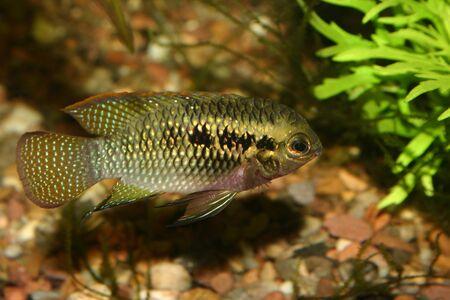 Red dots cichlid (Laetacara dorsigera) - Male Stock Photo - 8810662