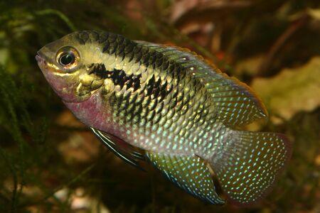 Red dots cichlid (Laetacara dorsigera) - Male  Stock Photo