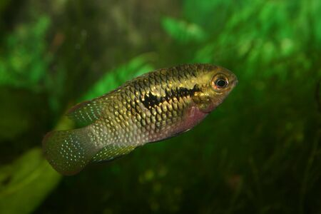 Red dots cichlid (Laetacara dorsigera) - Female  Stock Photo - 8810659