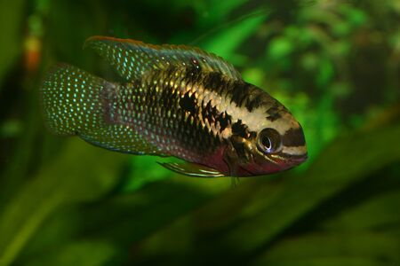 south american cichlid: Red dots cichlid (Laetacara dorsigera) - Male  Stock Photo