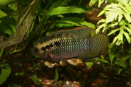 Red dots cichlid (Laetacara dorsigera) - Male Stock Photo - 8810655
