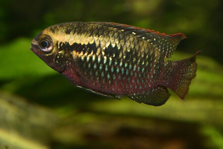 Red dots cichlid (Laetacara dorsigera) - Female Stock Photo - 8810667