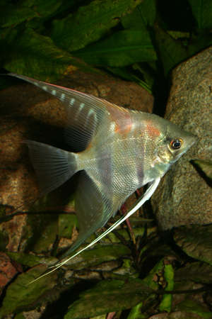 fish tank: �ngel (Pterophyllum scalare) en la pecera