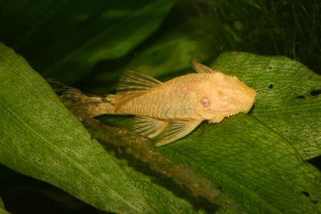 fish tank: Bagre (especificaciones de Ancistrus) en una pecera Foto de archivo