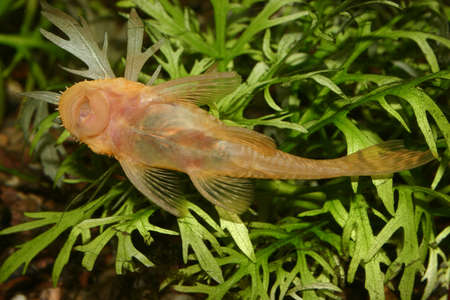 Catfish (Ancistrus spec.) in a fish tank Stock Photo - 8810668
