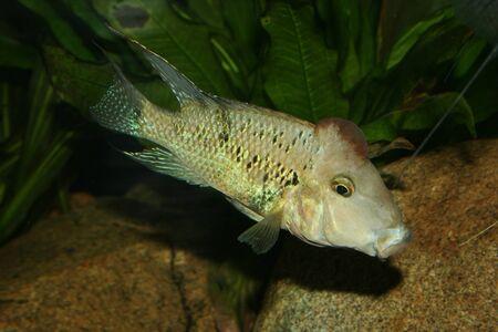 cichlid: Redhead cichlid (Geophagus steindachneri) - Male