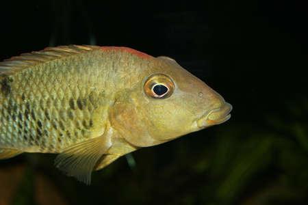 Redhead cichlid (Geophagus steindachneri) - Female  Stock Photo - 9037698