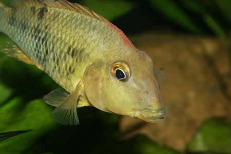 Redhead cichlid (Geophagus steindachneri) - Female Stock Photo - 9037706