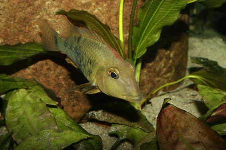 Redhead cichlid (Geophagus steindachneri) - Female Stock Photo - 9037705