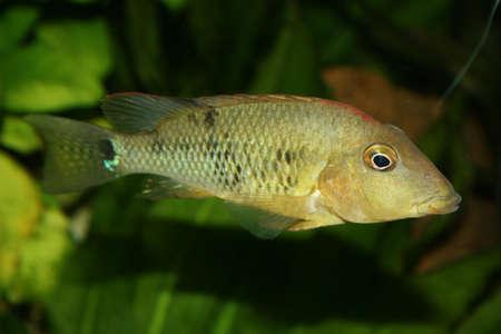 Redhead cichlid (Geophagus steindachneri) - Female Stock Photo - 9037646