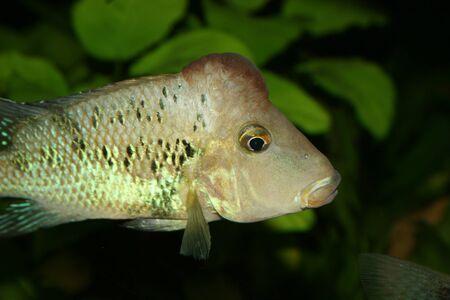 Redhead cichlid (Geophagus steindachneri) - Male Stock Photo - 9037667