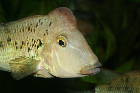 buntbarsch: Redhead Buntbarsch (Geophagus Steindachneri) - m�nnlich