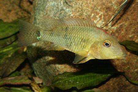 buntbarsch: Redhead Buntbarsch (Geophagus Steindachneri) - weiblich