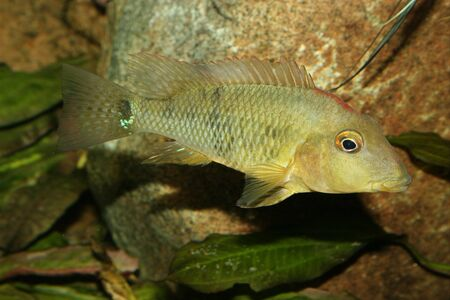 Redhead cichlid (Geophagus steindachneri) - Female  photo