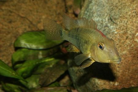 Redhead cichlid (Geophagus steindachneri) - Female Stock Photo - 9037691