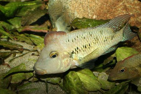 Redhead cichlid (Geophagus steindachneri) - Male  Stock Photo - 9037733
