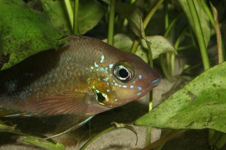 Mexican Fire Mouth (Thorichthys aureus) - Female  Stock Photo