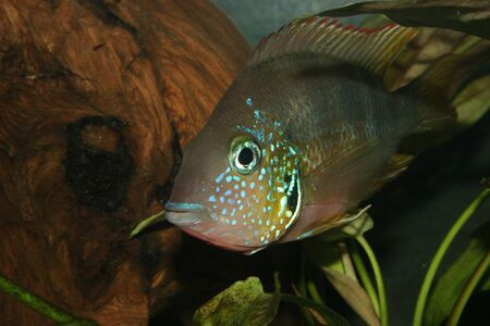 large cichlid: Mexican Fire Mouth (Thorichthys aureus) - Male  Stock Photo
