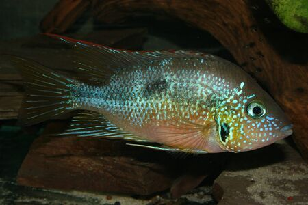 thorichthys: Mexican Fire Mouth (Thorichthys aureus) - Male  Stock Photo