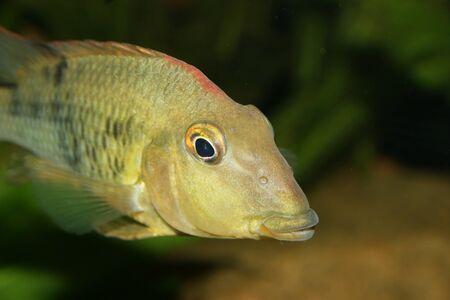 Redhead cichlid (Geophagus steindachneri) - Female  photo