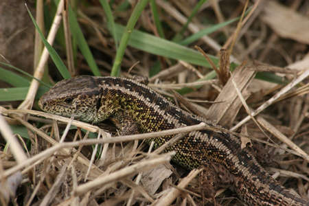 lacerta: Male sand lizard (Lacerta agilis) in habitat