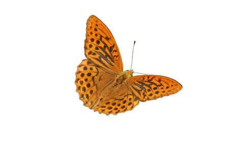 nymphalidae: Silver-washed Fritillary (Argynnis paphia) - isolated