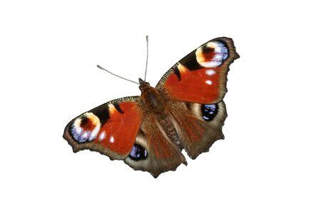 European Peacock (Inachis io) - isolated