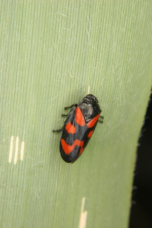 Froghopper (Cercopis vulnerata) on a leaf Stock Photo