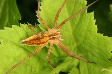 nursery web spider: Nursery web spider (Pisaura mirabilis) on a leaf