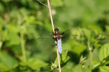 predatory insect: Broad-bodied Chaser (Libellula depressa) - male on a branch