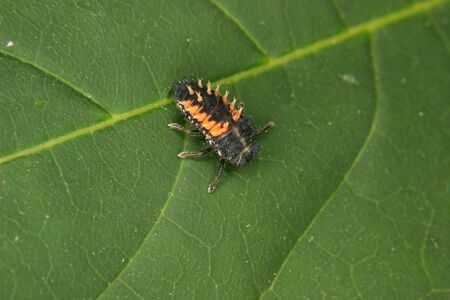 coccinella: Ladybird beetle larva (Coccinella) on a plant