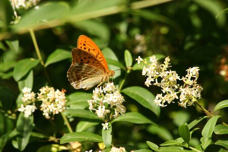 Silver-washed Fritillary (Argynnis paphia) on a flower Stock Photo - 9754338