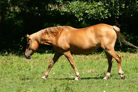 grassing: Horse in a pasture Stock Photo