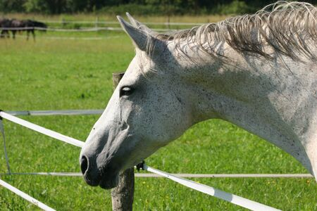 grassing: Horse in a pasture - portrait