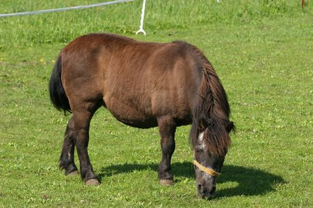 grassing: Pony in a pasture