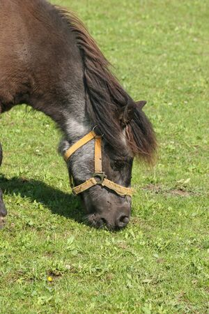 grassing: Pony in a pasture - portrait