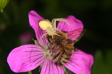 misumena: Goldenrod  crab spider (Misumena vatia)  - Female on a flower with a captured bee Stock Photo