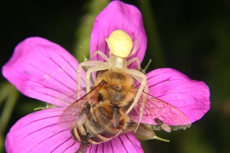 Goldenrod  crab spider (Misumena vatia)  - Female on a flower with a captured bee Stock Photo
