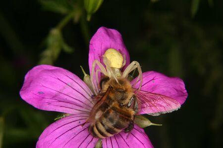 goldenrod spider: Goldenrod grancevola (Misumena vatia) - Femmina su un fiore con l'ape catturato
