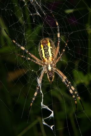 argiope: Wasp  spider (Argiope bruennichi) in a cobweb Stock Photo