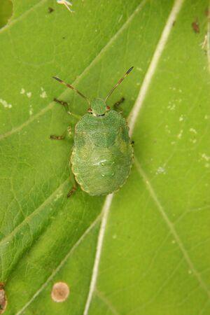 prasina: Green shield bug (Palomena prasina) -  larva on a leaf